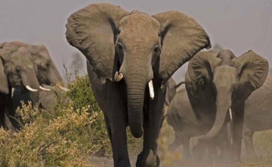 TEMBO 170 KUPIGWA MNADA NAMIBIA.